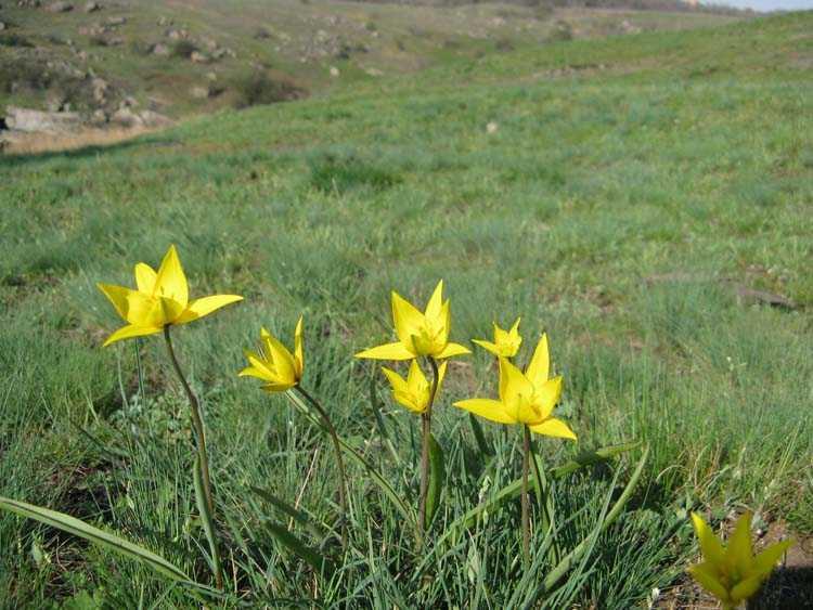 бугский тюльпан