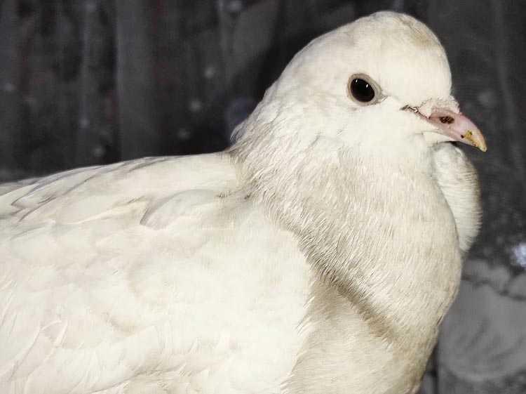 голубь 2