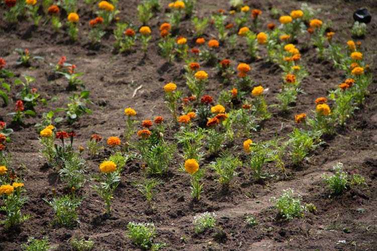 Відновлення паркових квітників (24)